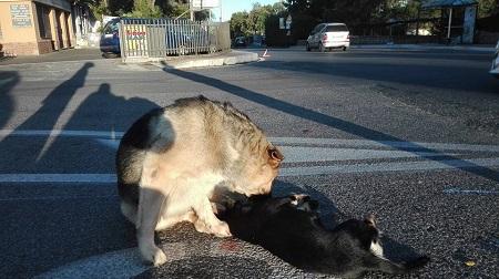 Roma. Cane veglia per ore il corpo dell'amico morto investito