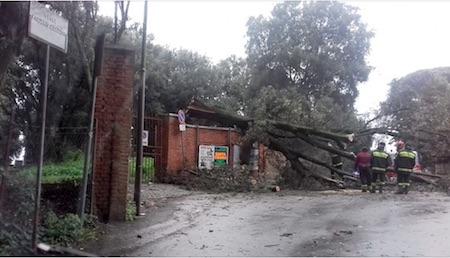 MALTEMPO - Frascati, grosso albero crolla da Villa Torlonia sulla salita di Sant'Antonio - ilmamilio.it - L'informazione dei Castelli romani